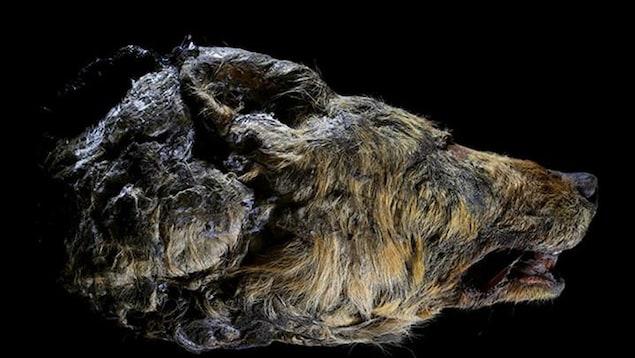 La tête d'un loup retrouvée en Sibérie.