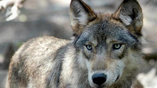 Un loup gris avec des yeux verts.