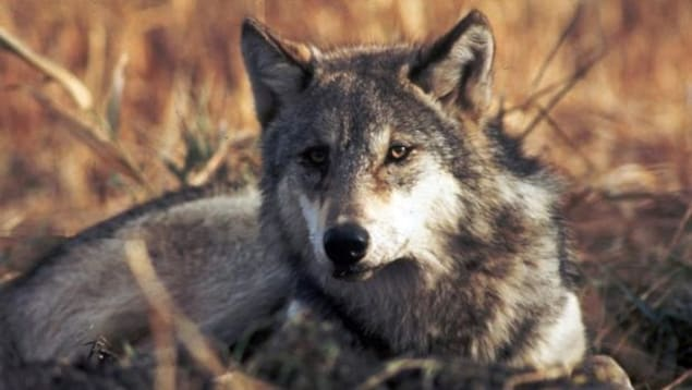 Un loup étendu dans un champ.
