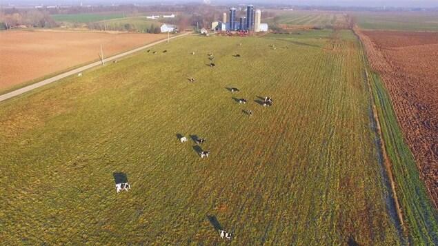 Vue des airs, des vaches aux pâturages au soleil couchant.