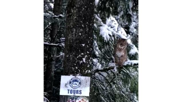 Un lynx perché sur un arbre.
