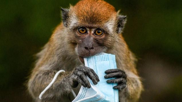 Un macaque tente de manger un masque chirurgical, utilisé comme mesure préventive contre la propagation du nouveau coronavirus.
