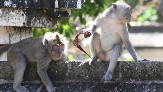Deux singes, dont un qui tient des lunettes fumées dans ses mains.