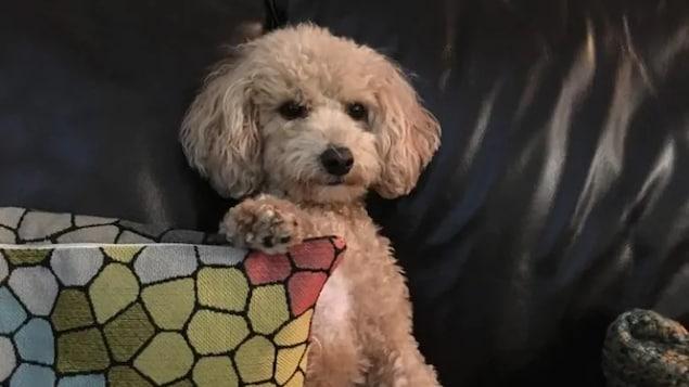 Une chienne sur un canapé