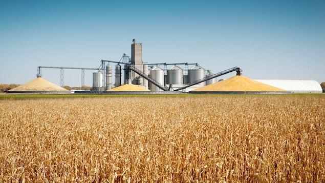 Champ de maïs et silos à grains.