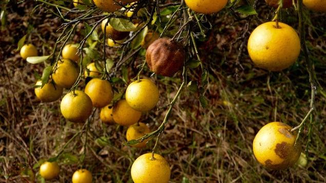 Des oranges touchées par la maladie du dragon jaune