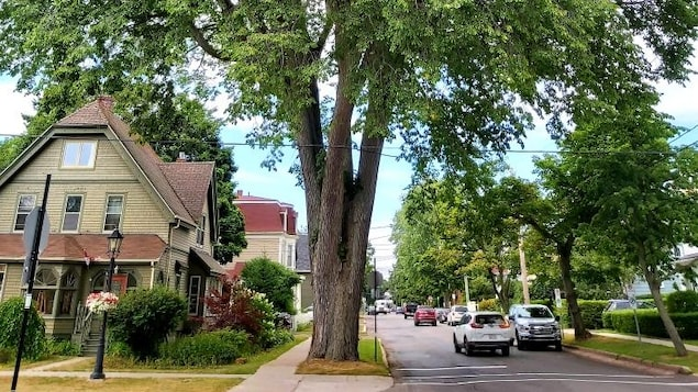 Un arbre dans la ville de Charlottetown.
