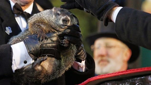 La célèbre marmotte Phil, de Pennsylvanie.
