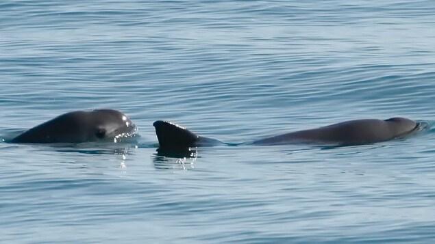 Deux marsouins du Pacifique nagent dans les eaux du golfe de Californie.