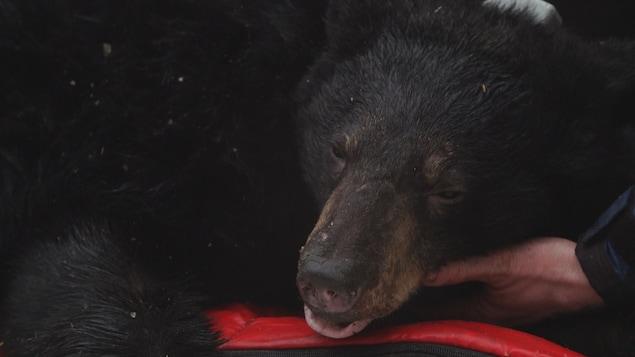 Un scientifique tient la tête d'un ours endormi.