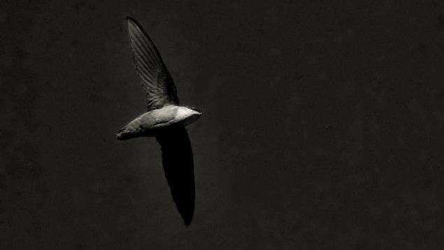 Un martinet ramoneur en vol dans l'obscurité.