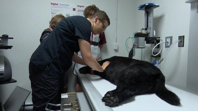 La vétérinaire Ève Woods-Lavoie observe un chien