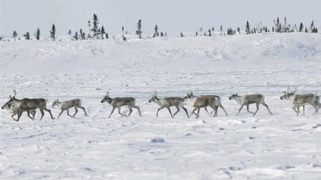 Un troupeau de caribous dans le grand nord canadien