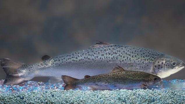 Deux saumons, un petit et un autre beaucoup plus gros, sont côte à côte.
