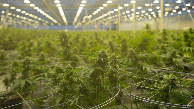 Une serre où poussent des plants de cannabis.