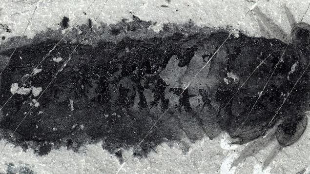 Restes fossilisés d'un Mollisonia plenovenatrix.