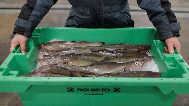 Un grand bac en plastique rempli de poissons morts conservés dans de la glace.