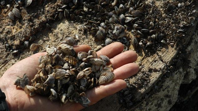Des dizaines de moules zébrées dans une main.