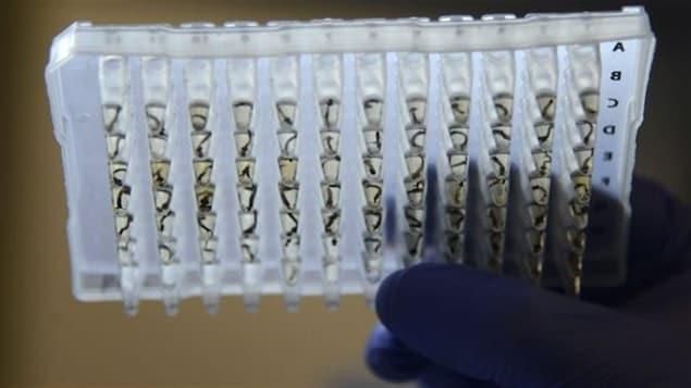 Des moustiques portant le virus Zika étudiés en laboratoire.