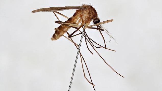 Un moustique sur une tige.