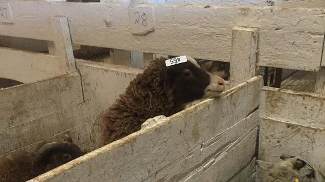 Des moutons dans un enclos intérieur.