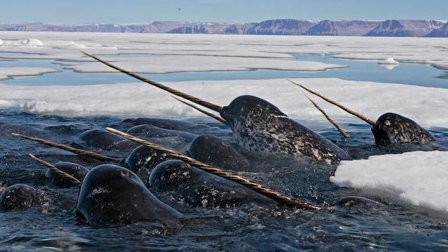 Un troupeau de narvals sont hors de l'eau entourés de glace de mer.
