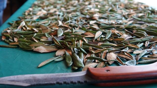 Un couteau devant des feuilles du thé du Labrador