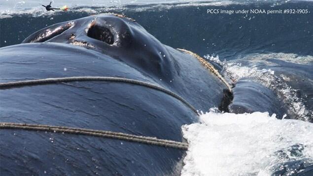 Une baleine prise dans des cordages à la surface de la mer