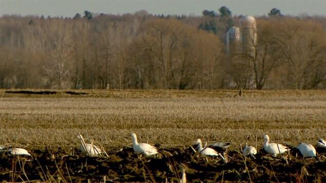 Des oies blanches dans un champ