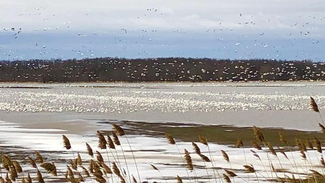 Des oies blanches dans un champ inondé.