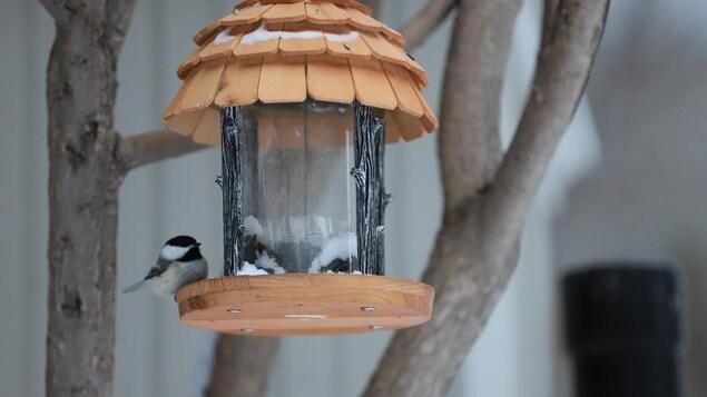 Signe que le printemps est à nos portes, ce petit oiseau mange bien à sa faim dans une petite cabane, au lendemain de la «tempête printanière».