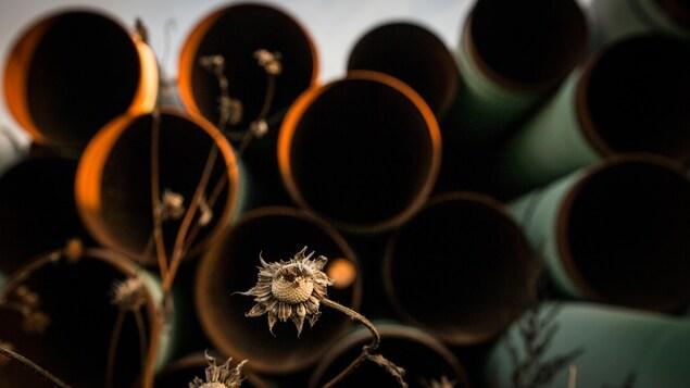 Des tuyaux d'oléoduc en arrière-plan d'un tournesol fâné