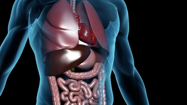 Illustration des organes dans un corps humain.