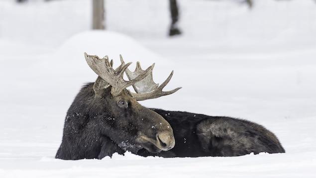 Un orignal au repos dans la neige