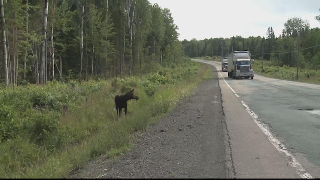 Un orignal sur le bord de la route.