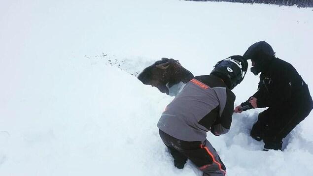 Deux motoneigistes en train de pelleter de la neige autour d'un orignal.