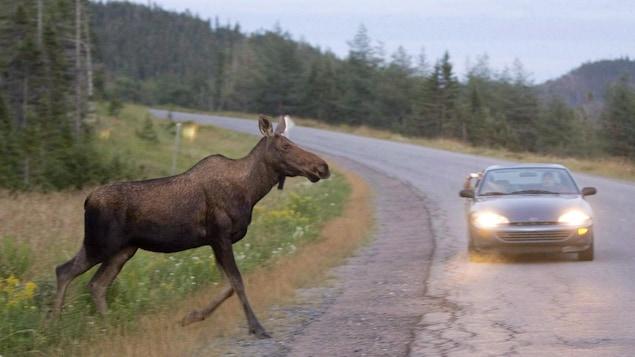 Un orignal sur la route avec une voiture qui s'approche à grande vitesse.