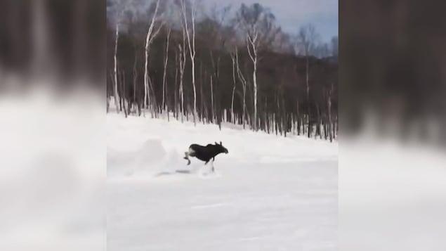L'orignal se sauve à la course alors qu'il est pourchassé par un planchiste au Massif de Charlevoix.