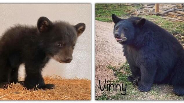 Un ours qui s'appelle Vinny.