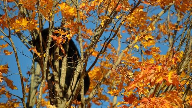 Un ours dans un arbre à l'automne.