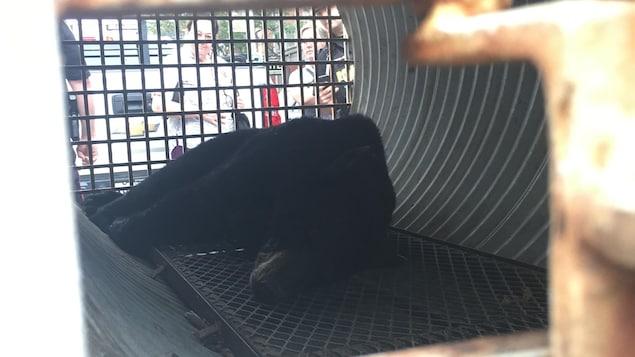 Un ours endormi dans une cage de transport.