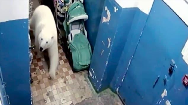 Un ours polaire à l'intérieur d'un bâtiment, capté par une caméra de surveillance.