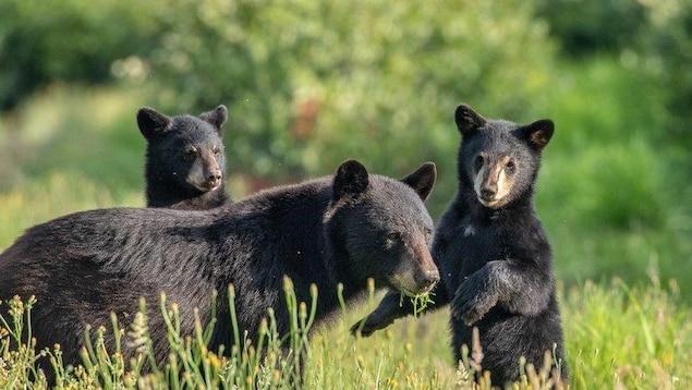 Une ourse et ses deux oursons dans l'herbe