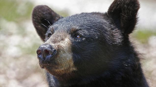 Un ours noir.