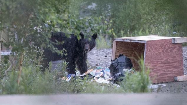 Un ours devant des déchets.