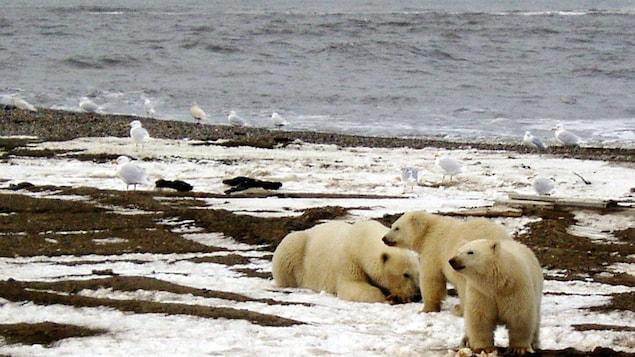Trois ours polaires sur une rive enneigée en Alaska.
