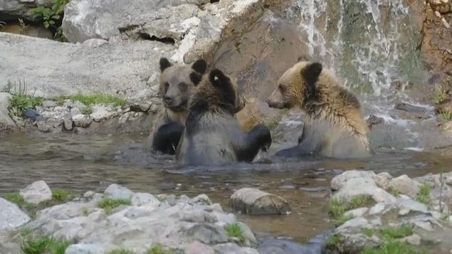 Les trois grizzlys s'amusent dans l'eau.
