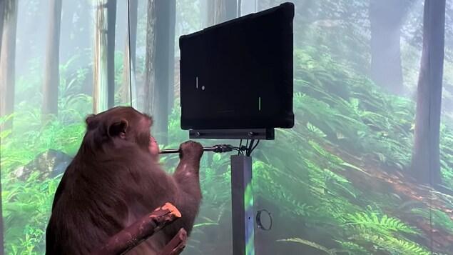 Un singe regarde un écran d'ordinateur montrant le jeu de «Pong».