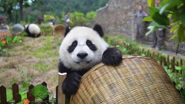 Un jeune panda géant jouant avec un panier.