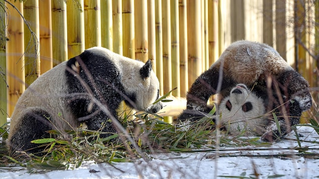 Deux jeunes pandas.